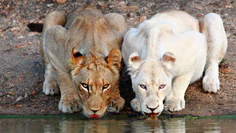 Two lion cubs drinking at a water hole thumbnail